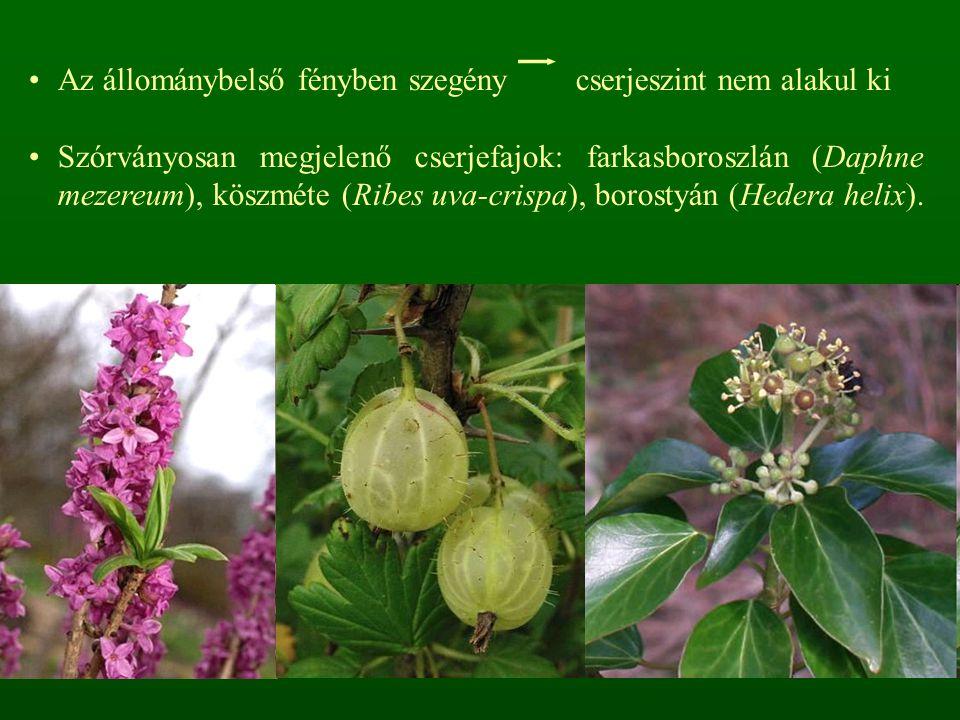 Az állománybelső fényben szegény cserjeszint nem alakul ki Szórványosan megjelenő cserjefajok: farkasboroszlán (Daphne mezereum), köszméte (Ribes uva-
