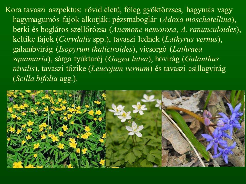 Kora tavaszi aszpektus: rövid életű, főleg gyöktörzses, hagymás vagy hagymagumós fajok alkotják: pézsmaboglár (Adoxa moschatellina), berki és bogláros
