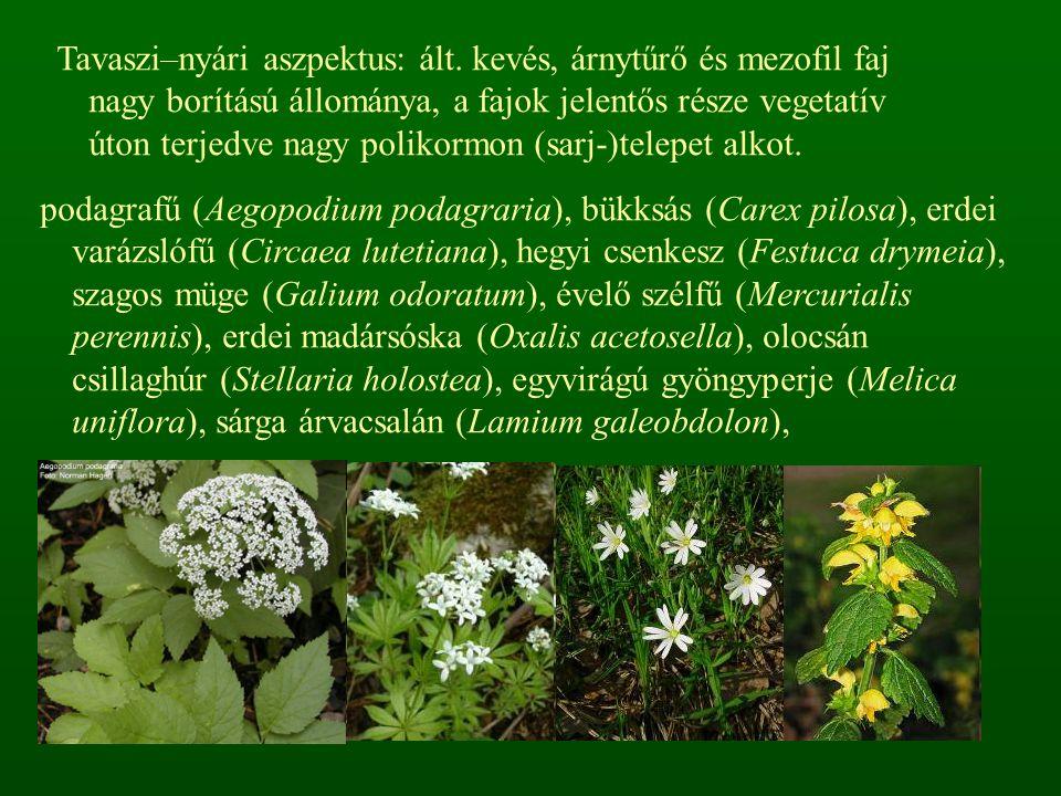 podagrafű (Aegopodium podagraria), bükksás (Carex pilosa), erdei varázslófű (Circaea lutetiana), hegyi csenkesz (Festuca drymeia), szagos müge (Galium