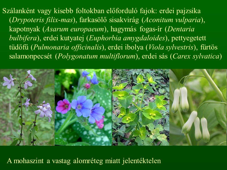 Szálanként vagy kisebb foltokban előforduló fajok: erdei pajzsika (Drypoteris filix-mas), farkasölő sisakvirág (Aconitum vulparia), kapotnyak (Asarum