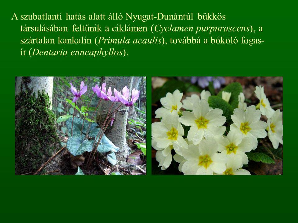 A szubatlanti hatás alatt álló Nyugat-Dunántúl bükkös társulásában feltűnik a ciklámen (Cyclamen purpurascens), a szártalan kankalin (Primula acaulis)