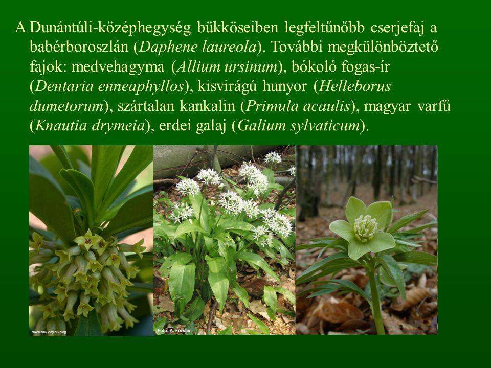 A Dunántúli-középhegység bükköseiben legfeltűnőbb cserjefaj a babérboroszlán (Daphene laureola). További megkülönböztető fajok: medvehagyma (Allium ur
