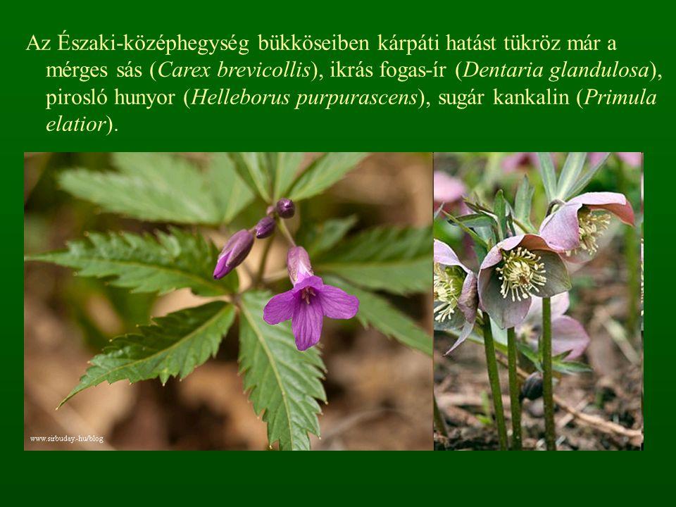 Az Északi-középhegység bükköseiben kárpáti hatást tükröz már a mérges sás (Carex brevicollis), ikrás fogas-ír (Dentaria glandulosa), pirosló hunyor (H