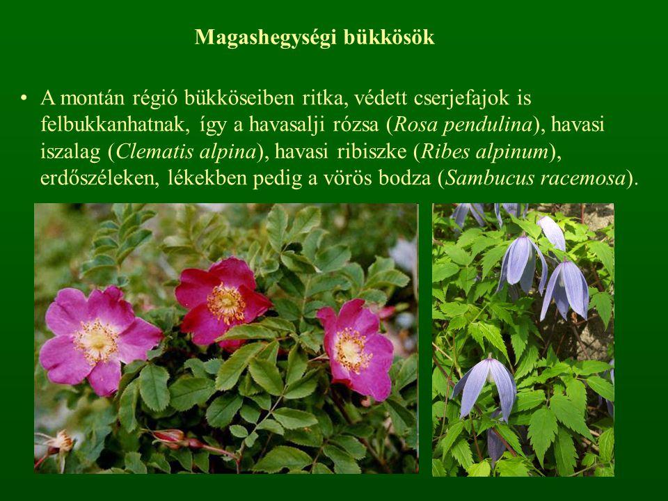 Magashegységi bükkösök A montán régió bükköseiben ritka, védett cserjefajok is felbukkanhatnak, így a havasalji rózsa (Rosa pendulina), havasi iszalag
