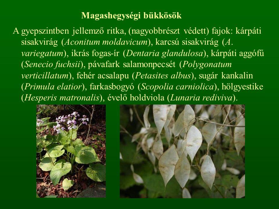 Magashegységi bükkösök A gyepszintben jellemző ritka, (nagyobbrészt védett) fajok: kárpáti sisakvirág (Aconitum moldavicum), karcsú sisakvirág (A. var
