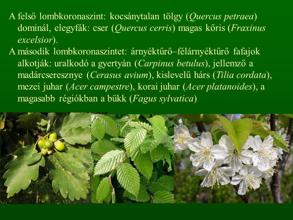 A felső lombkoronaszint: kocsánytalan tölgy (Quercus petraea) dominál, elegyfák: cser (Quercus cerris) magas kőris (Fraxinus excelsior). A második lom