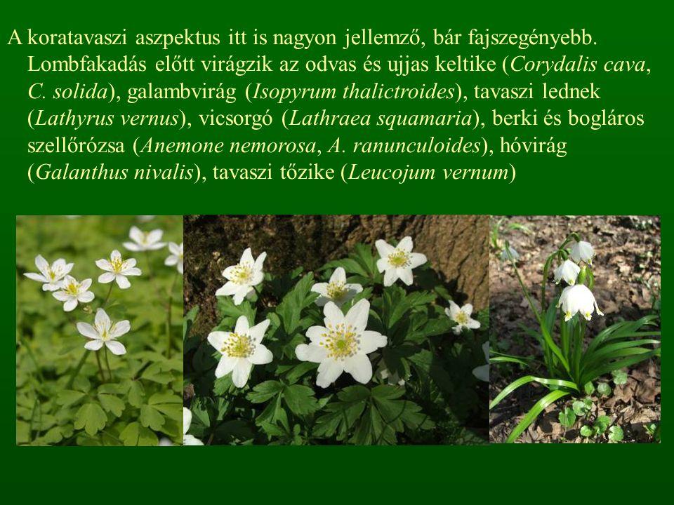 A koratavaszi aszpektus itt is nagyon jellemző, bár fajszegényebb. Lombfakadás előtt virágzik az odvas és ujjas keltike (Corydalis cava, C. solida), g
