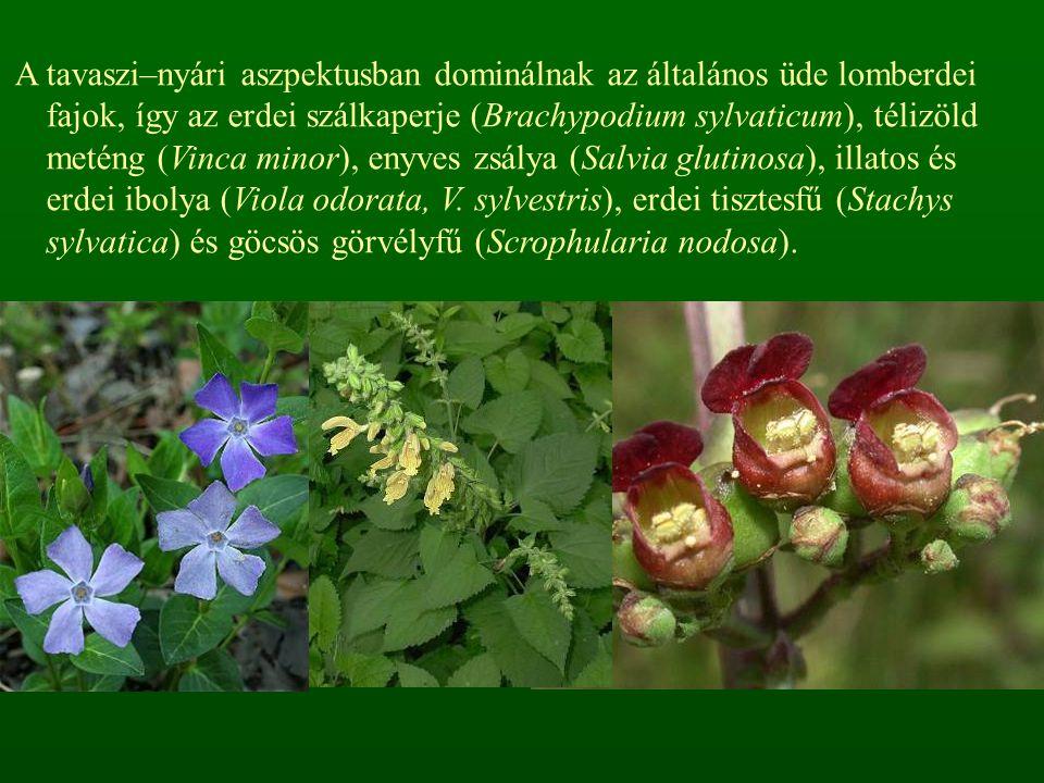 A tavaszi–nyári aszpektusban dominálnak az általános üde lomberdei fajok, így az erdei szálkaperje (Brachypodium sylvaticum), télizöld meténg (Vinca m