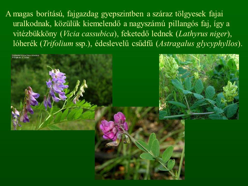A magas borítású, fajgazdag gyepszintben a száraz tölgyesek fajai uralkodnak, közülük kiemelendő a nagyszámú pillangós faj, így a vitézbükköny (Vicia
