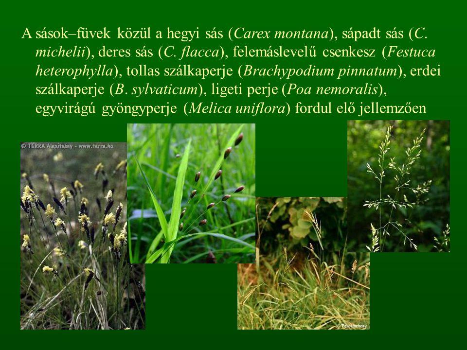 A sások–füvek közül a hegyi sás (Carex montana), sápadt sás (C. michelii), deres sás (C. flacca), felemáslevelű csenkesz (Festuca heterophylla), tolla