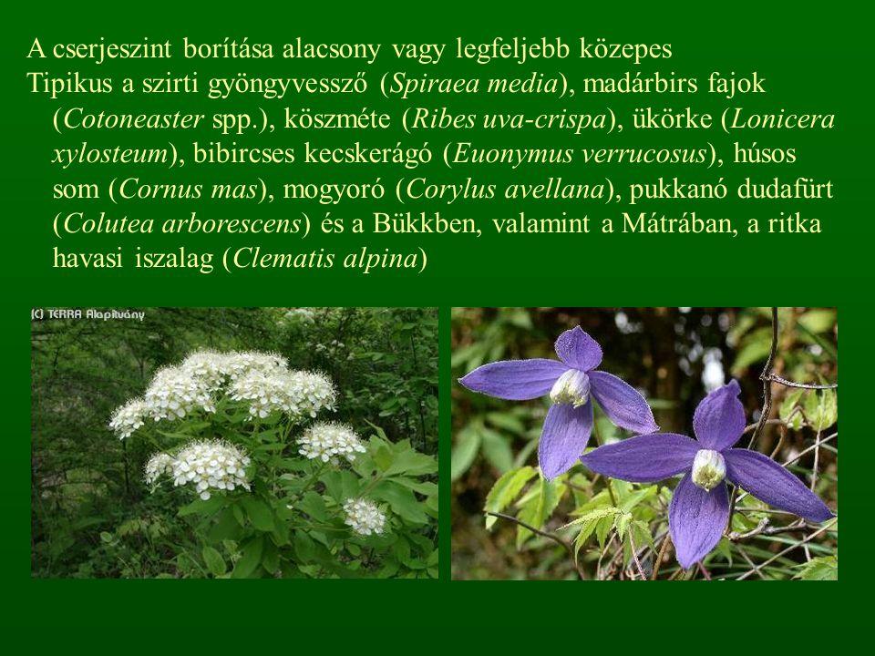 A cserjeszint borítása alacsony vagy legfeljebb közepes Tipikus a szirti gyöngyvessző (Spiraea media), madárbirs fajok (Cotoneaster spp.), köszméte (R