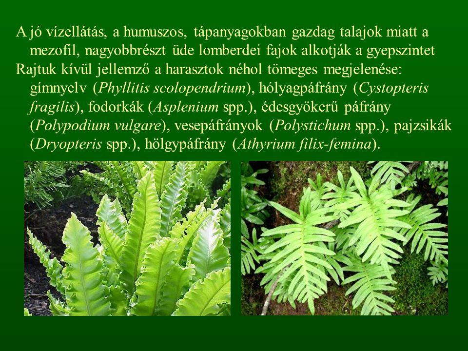 A jó vízellátás, a humuszos, tápanyagokban gazdag talajok miatt a mezofil, nagyobbrészt üde lomberdei fajok alkotják a gyepszintet Rajtuk kívül jellem