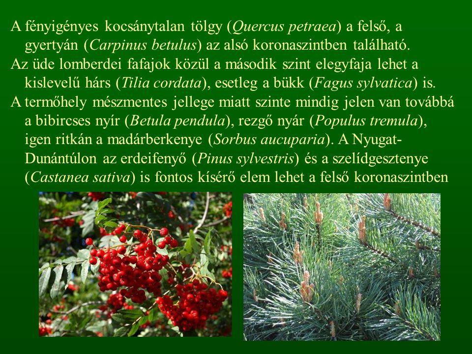 A fényigényes kocsánytalan tölgy (Quercus petraea) a felső, a gyertyán (Carpinus betulus) az alsó koronaszintben található. Az üde lomberdei fafajok k
