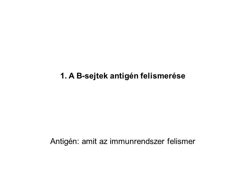 1. A B-sejtek antigén felismerése Antigén: amit az immunrendszer felismer