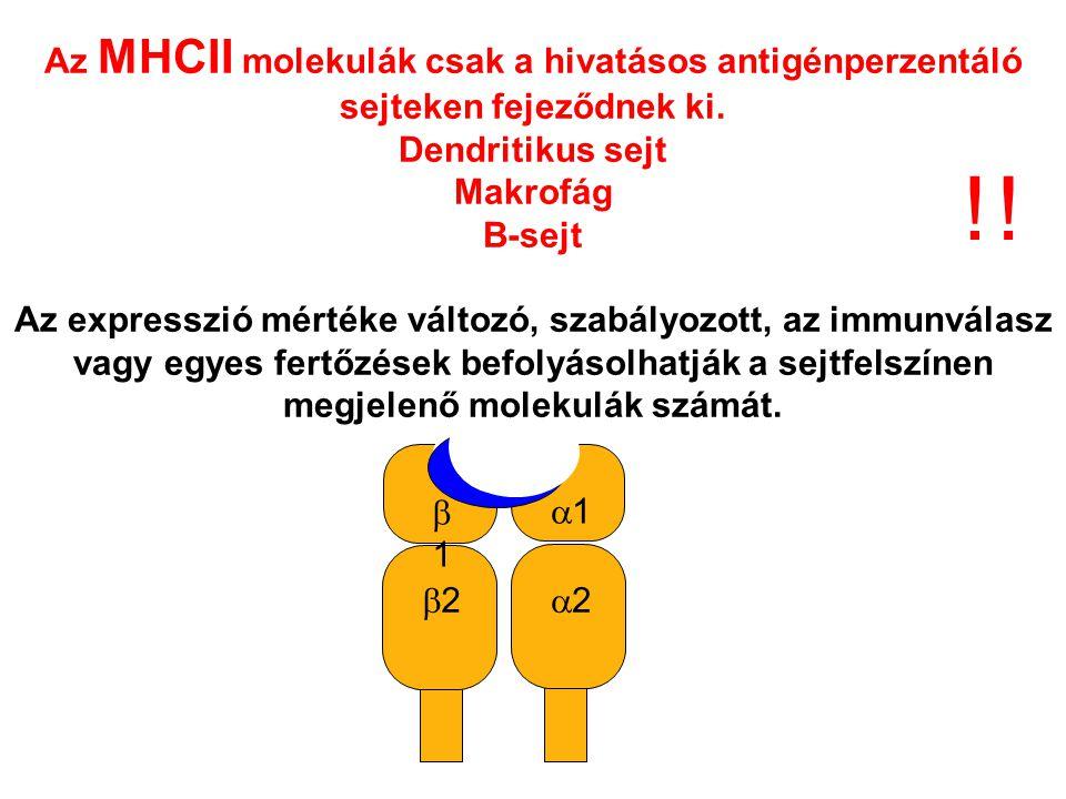 22 11 22 11 Az MHCII molekulák csak a hivatásos antigénperzentáló sejteken fejeződnek ki.