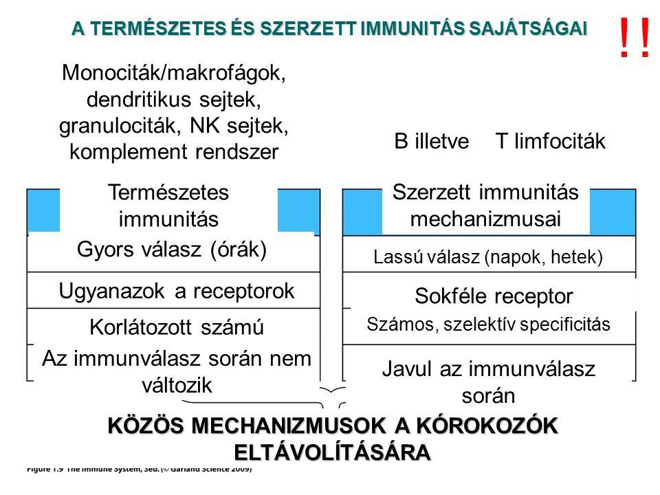 A TERMÉSZETES ÉS SZERZETT IMMUNITÁS SAJÁTSÁGAI Természetes immunitás mechanizmusai Szerzett immunitás mechanizmusai Gyors válasz (órák) Lassú válasz (napok, hetek) Ugyanazok a receptorok Sokféle receptor Korlátozott számú specificitás Számos, szelektív specificitás Az immunválasz során nem változik Javul az immunválasz során KÖZÖS MECHANIZMUSOK A KÓROKOZÓK ELTÁVOLÍTÁSÁRA !.