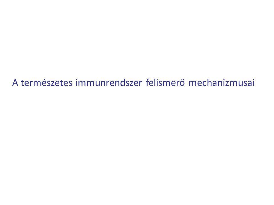 Az természetes immunrendszer sejtjei: Makrofág - Fertőzés esetén az első sejt típusok egyike, amely felismeri a korokozót - fagocitáló sejtek (elpusztítja a korokozót) -Részt vesz a természetes immunrendszer aktiválásában -hivatásos antigénprezentáló sejtek (APC) (részt vesz az adaptív immunrendszer beindításában Dedritikus sejt - Fertőzés esetén az első sejt típusok egyike, amely felismeri a korokozót - Fő feladata, hogy a nyirokcsomókba szállítsa a korokozókat a behatolás helyéről - hivatásos antigénprezentáló sejtek (APC) (részt vesz az adaptív immunrendszer beindításában Neutrofil granulocita -fagocitózisra képesek -egészséges szövetben nem jellemző, csak a vérkeringésben, szöveti sérülés esetén behatol a szövetekbe, ahol a kórokozók elpusztításában vesz részt -gyulladásos folyamatok fő sejt résztvevője További résztvevők: Bazofil/eozinofil granulocita, NK sejt, Komplement rendszer !!