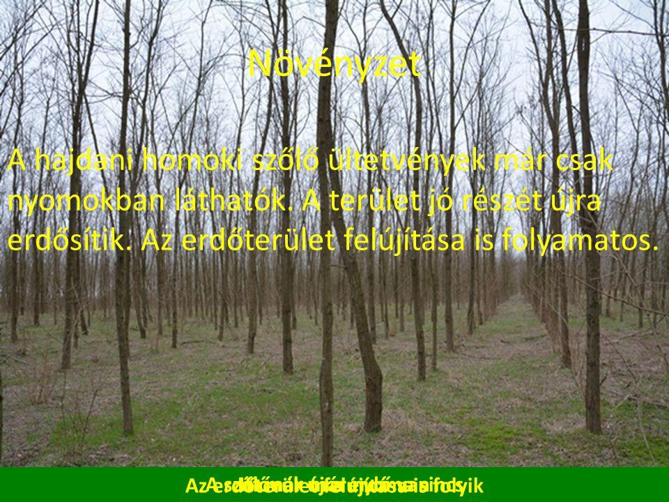 A szőlőnek már nyoma sincs Növényzet A hajdani homoki szőlő ültetvények már csak nyomokban láthatók.