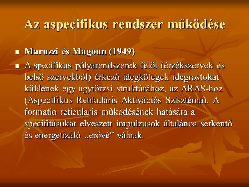 Az aspecifikus rendszer működése Maruzzi és Magoun (1949) Maruzzi és Magoun (1949) A specifikus pályarendszerek felől (érzékszervek és belső szervekbő