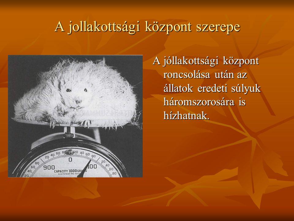 A jollakottsági központ szerepe A jóllakottsági központ roncsolása után az állatok eredeti súlyuk háromszorosára is hízhatnak.