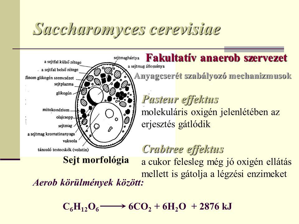 Saccharomyces cerevisiae Sejt morfológia Anyagcserét szabályozó mechanizmusok Pasteur effektus molekuláris oxigén jelenlétében az erjesztés gátlódik Crabtree effektus a cukor felesleg még jó oxigén ellátás mellett is gátolja a légzési enzimeket Fakultatív anaerob szervezet Aerob körülmények között: C 6 H 12 O 6 6CO 2 + 6H 2 O + 2876 kJ