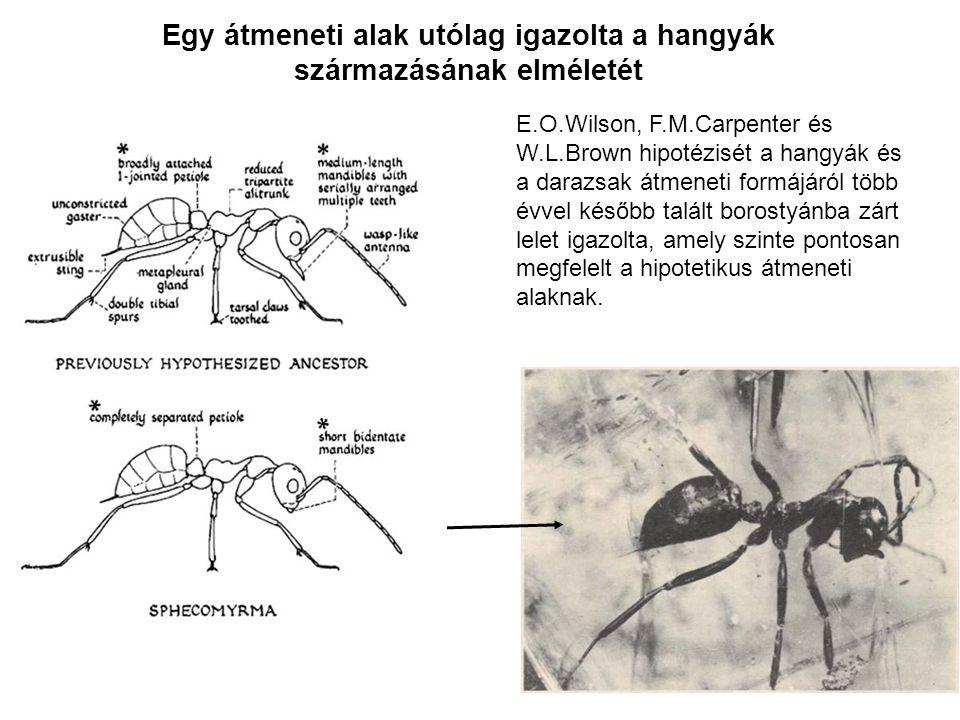 Egy átmeneti alak utólag igazolta a hangyák származásának elméletét E.O.Wilson, F.M.Carpenter és W.L.Brown hipotézisét a hangyák és a darazsak átmenet