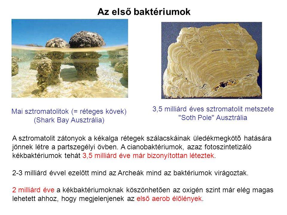 Az első baktériumok A sztromatolit zátonyok a kékalga rétegek szálacskáinak üledékmegkötõ hatására jönnek létre a partszegélyi övben. A cianobaktérium