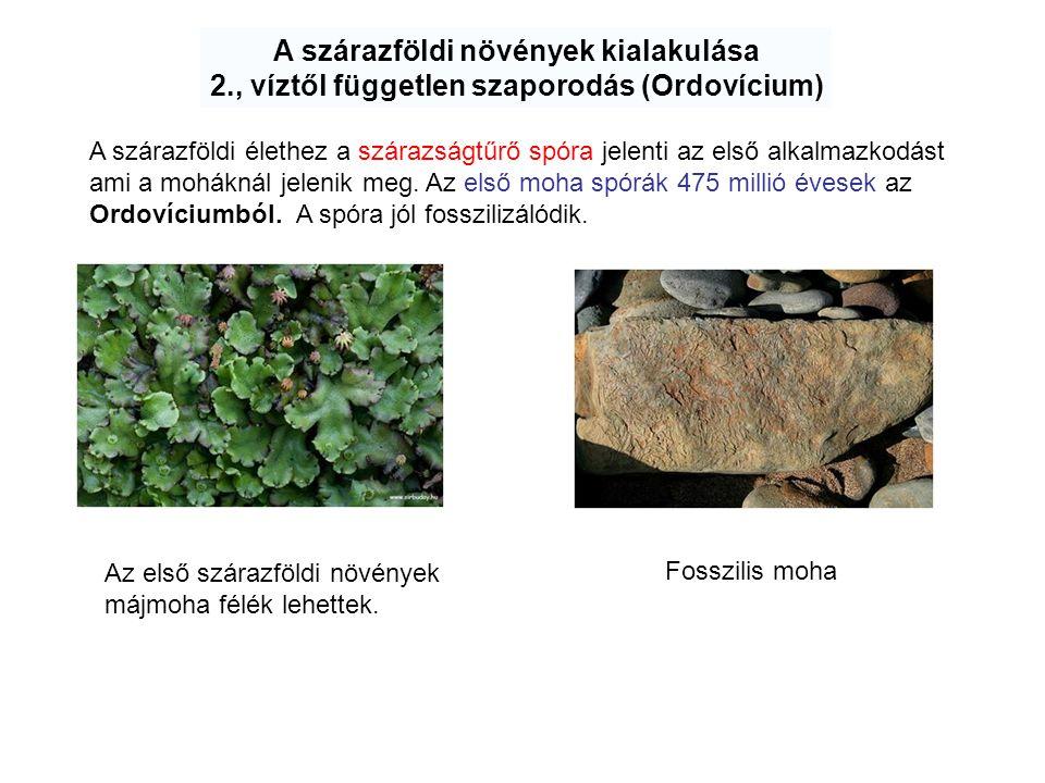 A szárazföldi növények kialakulása 2., víztől független szaporodás (Ordovícium) A szárazföldi élethez a szárazságtűrő spóra jelenti az első alkalmazko