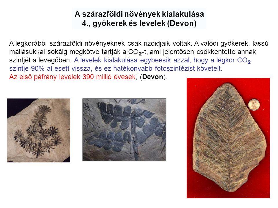 A szárazföldi növények kialakulása 4., gyökerek és levelek (Devon) A legkorábbi szárazföldi növényeknek csak rizoidjaik voltak. A valódi gyökerek, las