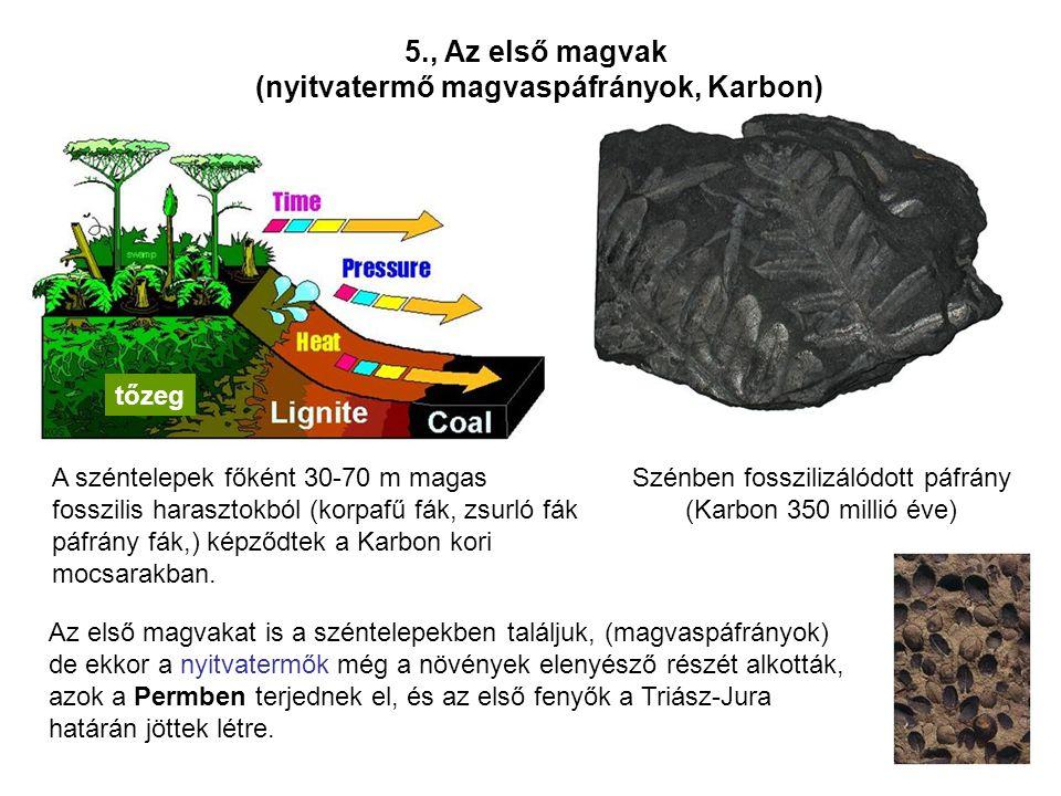 Szénben fosszilizálódott páfrány (Karbon 350 millió éve) Az első magvakat is a széntelepekben találjuk, (magvaspáfrányok) de ekkor a nyitvatermők még