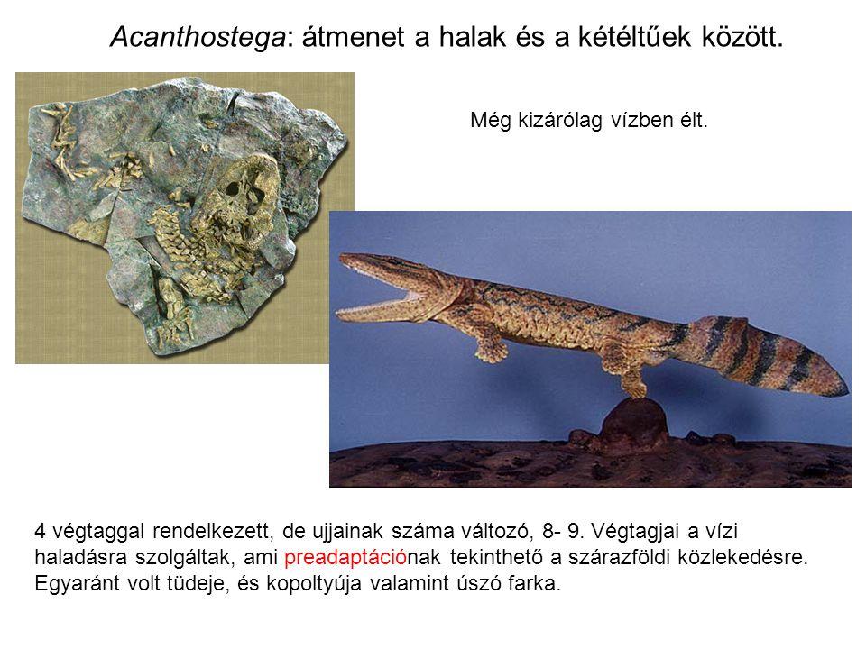 Acanthostega: átmenet a halak és a kétéltűek között. 4 végtaggal rendelkezett, de ujjainak száma változó, 8- 9. Végtagjai a vízi haladásra szolgáltak,