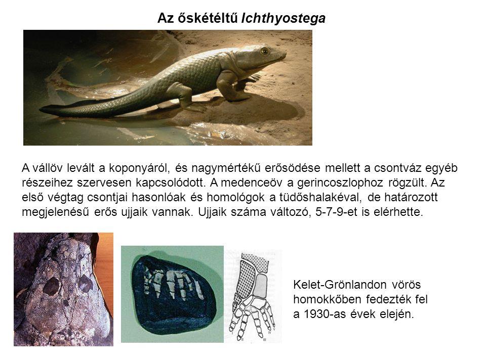 Az őskétéltű Ichthyostega Kelet-Grönlandon vörös homokkőben fedezték fel a 1930-as évek elején. A vállöv levált a koponyáról, és nagymértékű erősödése