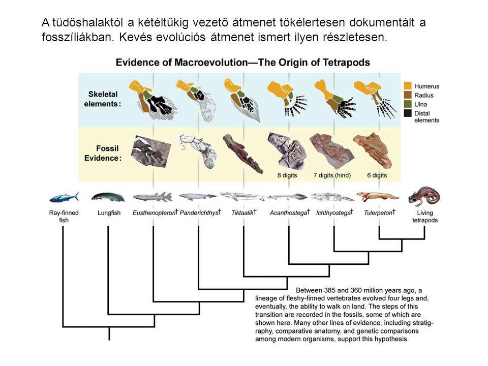 A tüdőshalaktól a kétéltűkig vezető átmenet tökélertesen dokumentált a fosszíliákban. Kevés evolúciós átmenet ismert ilyen részletesen.