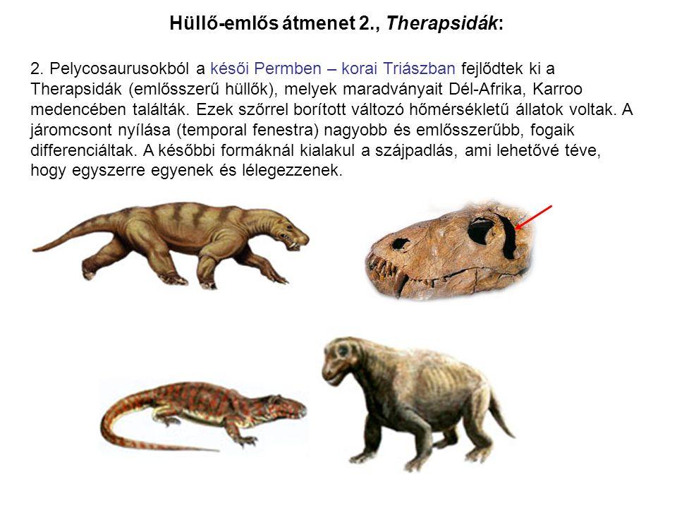 2. Pelycosaurusokból a késői Permben – korai Triászban fejlődtek ki a Therapsidák (emlősszerű hüllők), melyek maradványait Dél-Afrika, Karroo medencéb