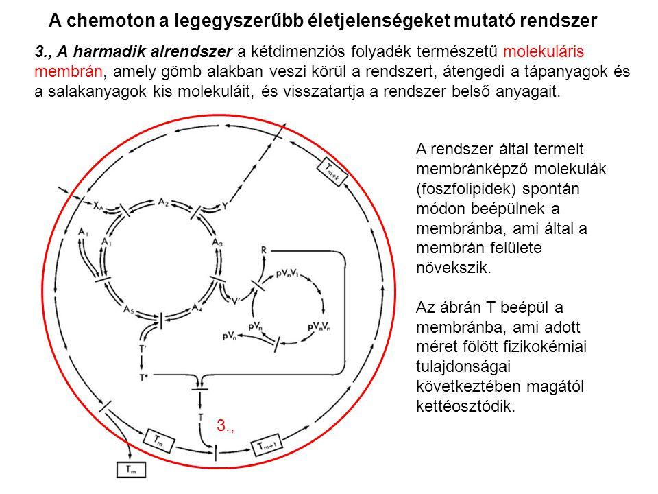 A chemoton a legegyszerűbb életjelenségeket mutató rendszer A rendszer által termelt membránképző molekulák (foszfolipidek) spontán módon beépülnek a
