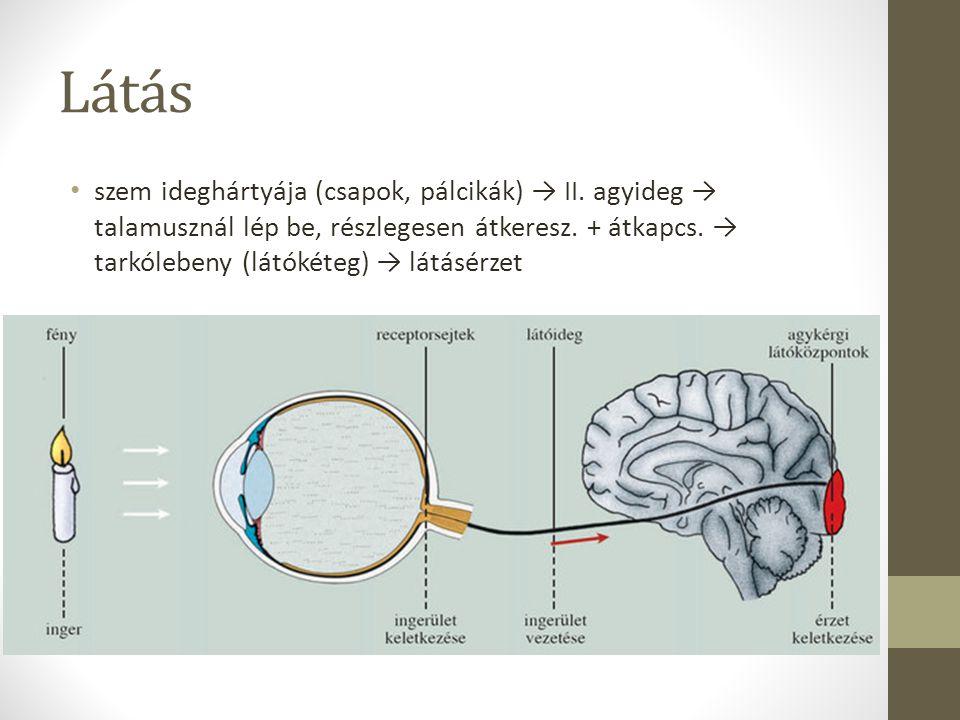 Látás szem ideghártyája (csapok, pálcikák) → II. agyideg → talamusznál lép be, részlegesen átkeresz. + átkapcs. → tarkólebeny (látókéteg) → látásérzet