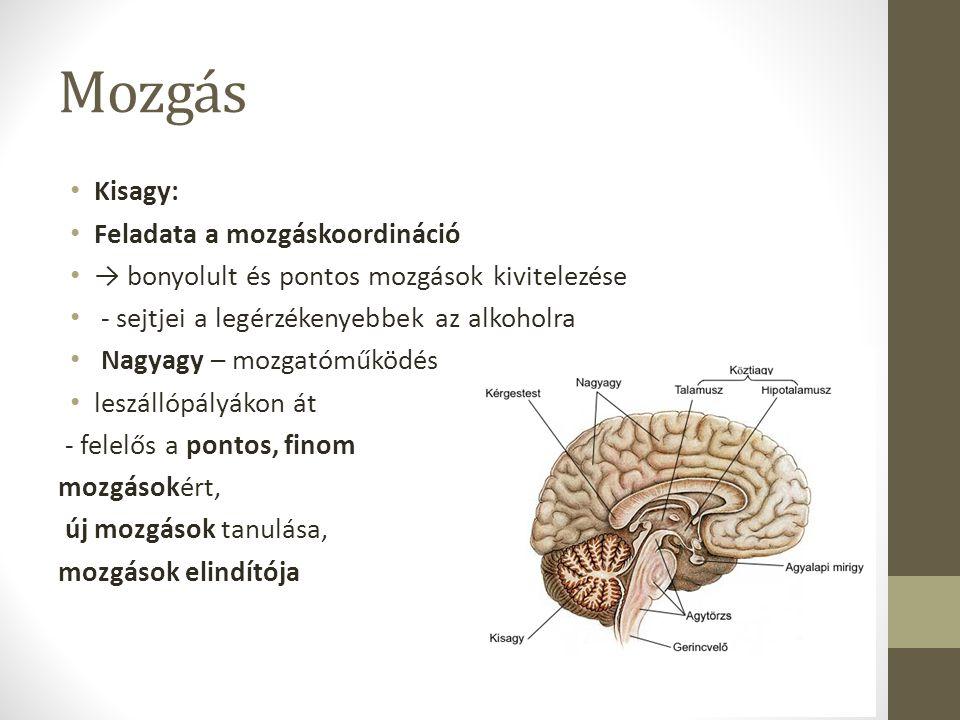 Mozgás Kisagy: Feladata a mozgáskoordináció → bonyolult és pontos mozgások kivitelezése - sejtjei a legérzékenyebbek az alkoholra Nagyagy – mozgatóműk