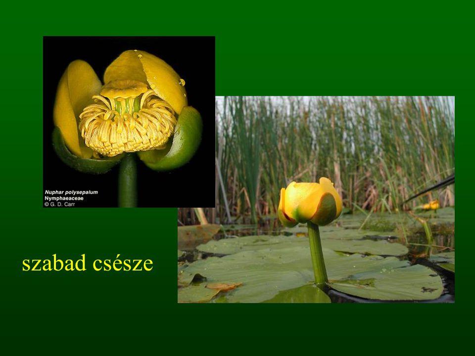 1.5. sátor virágzat