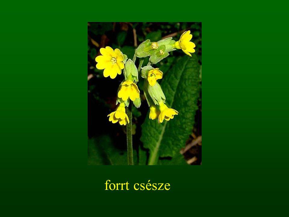2.3.1. bogernyő virágzat
