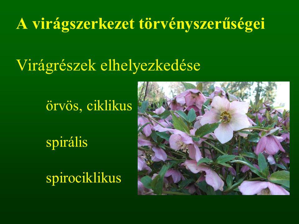 A virágszerkezet törvényszerűségei Virágrészek elhelyezkedése örvös, ciklikus spirális spirociklikus