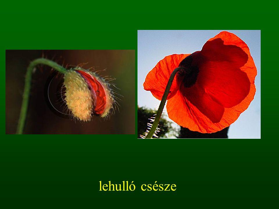 2.3.2. ecset virágzat