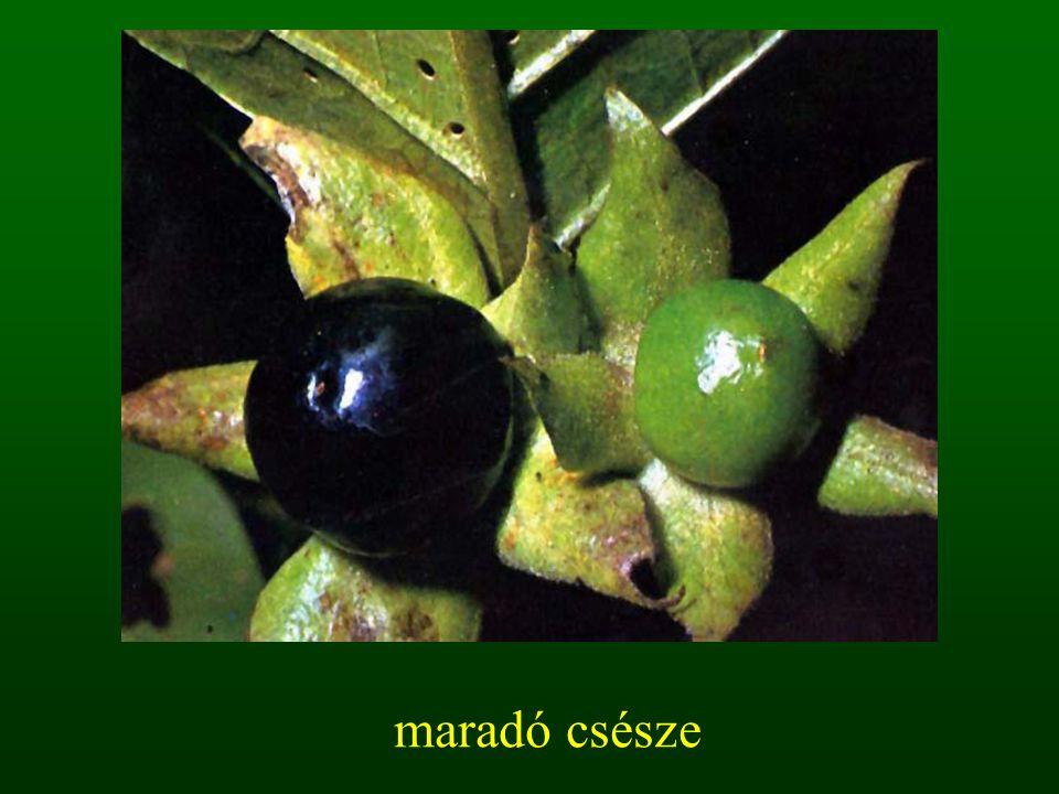 termő részei bibe bibeszál magház Termőtáj: 1.monokarp 2.