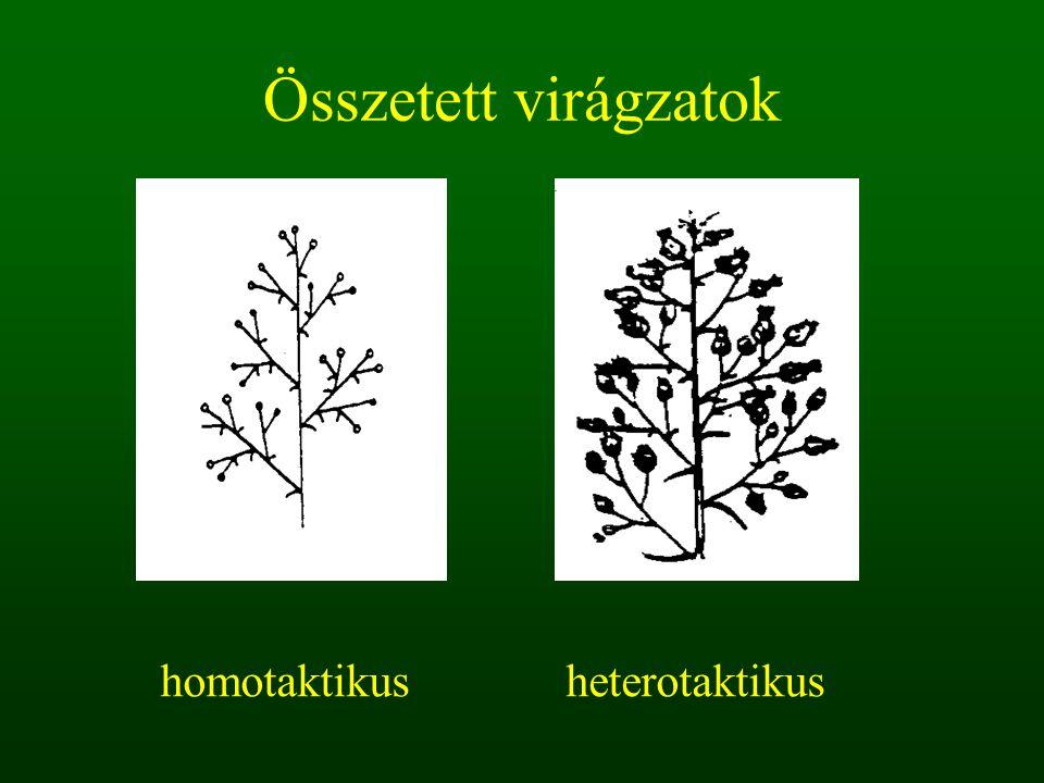 Összetett virágzatok homotaktikus heterotaktikus
