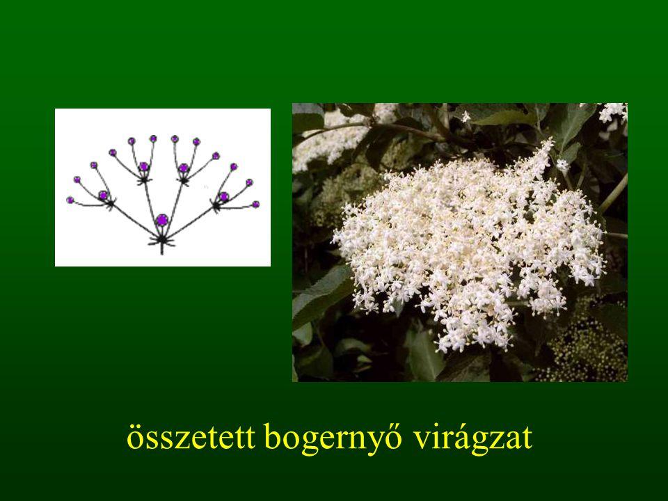 összetett bogernyő virágzat