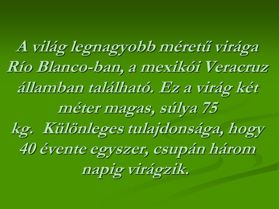 A világ legnagyobb méretű virága Río Blanco-ban, a mexikói Veracruz államban található.