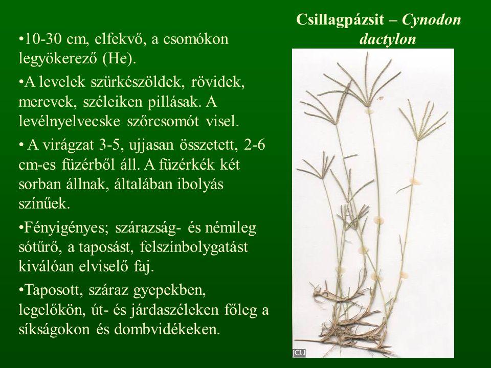 Csillagpázsit – Cynodon dactylon 10-30 cm, elfekvő, a csomókon legyökerező (He). A levelek szürkészöldek, rövidek, merevek, széleiken pillásak. A levé