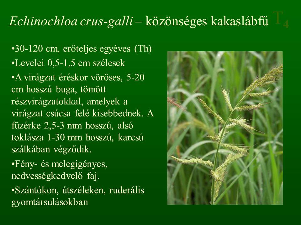 T4T4 Echinochloa crus-galli – közönséges kakaslábfű 30-120 cm, erőteljes egyéves (Th) Levelei 0,5-1,5 cm szélesek A virágzat éréskor vöröses, 5-20 cm