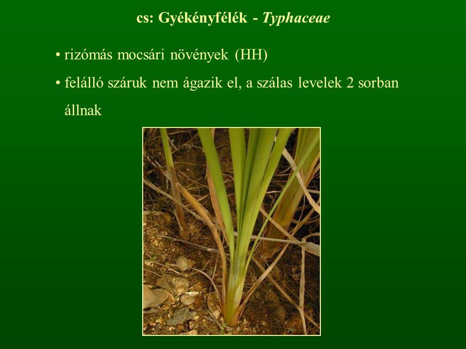 cs: Gyékényfélék - Typhaceae rizómás mocsári növények (HH) felálló száruk nem ágazik el, a szálas levelek 2 sorban állnak