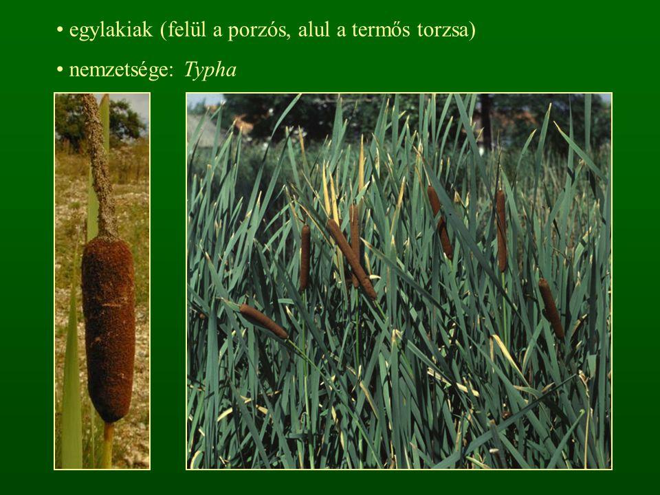 egylakiak (felül a porzós, alul a termős torzsa) nemzetsége: Typha