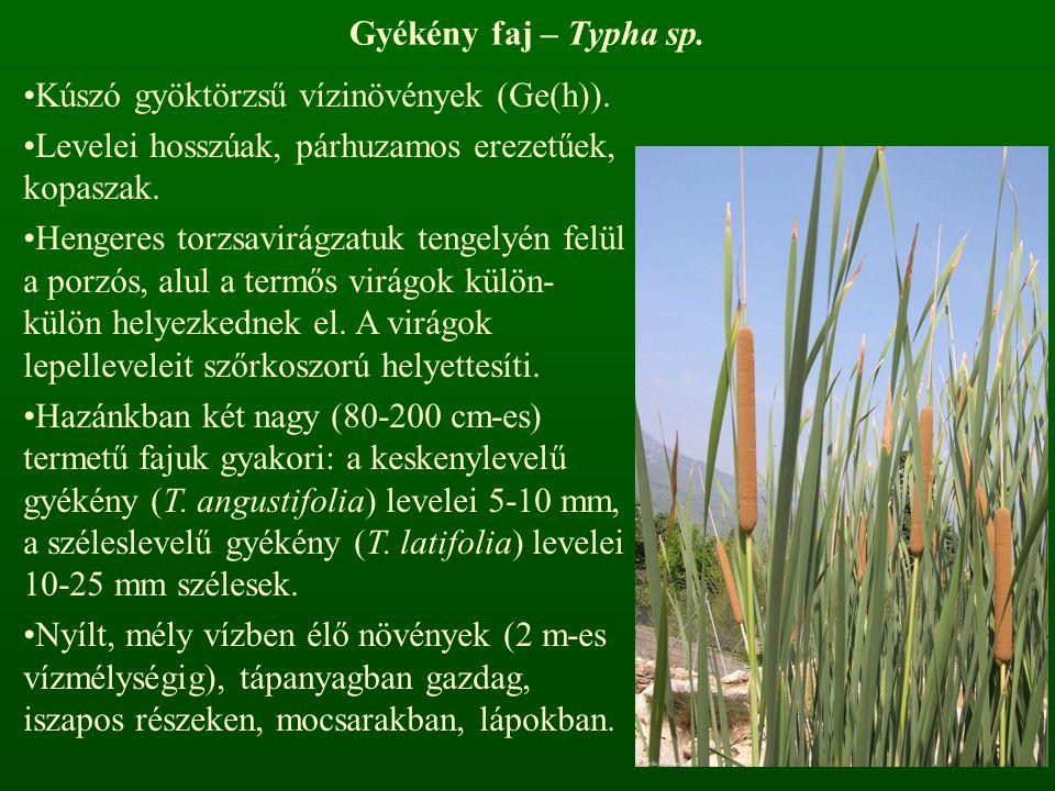 Gyékény faj – Typha sp. Kúszó gyöktörzsű vízinövények (Ge(h)). Levelei hosszúak, párhuzamos erezetűek, kopaszak. Hengeres torzsavirágzatuk tengelyén f